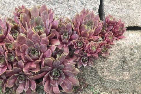 hauswurz-auf-stein-pflanzen