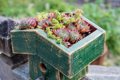 hauswurz-einpflanzen