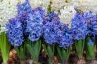 hyazinthe-bluetezeit