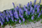 kriechender-guensel-bluetezeit