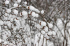 duftjasmin-winterhart
