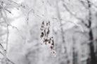falscher-jasmin-winterhart