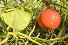 hokkaido-pflanzen