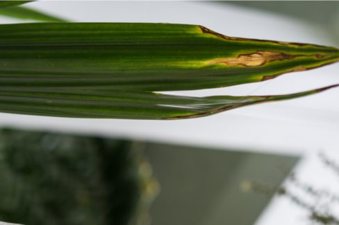 kokospalme-braune-blaetter