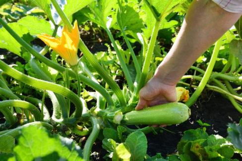 zucchini-ernten