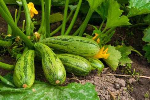 zucchini-standort