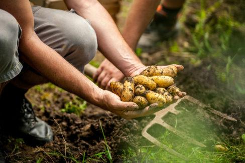 kartoffeln-anbauen