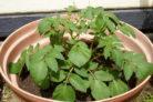 kartoffeln-im-topf-pflanzen