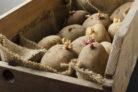 kartoffeln-keimen