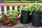 kartoffeln-pflanzen-balkon