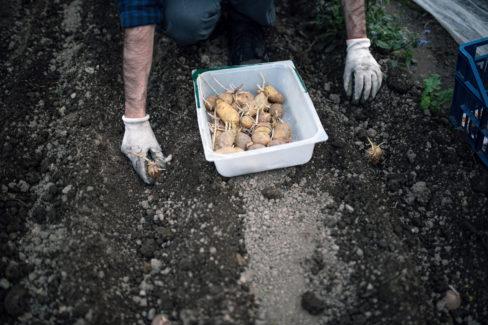 kartoffeln-zuechten