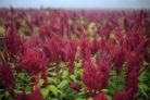amaranth-anpflanzen