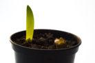 amaryllis-pflanzzeit