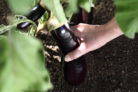 auberginen-ernten