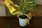drachenbaum-gelbe-flecken