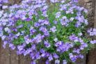 duftveilchen-pflanzen