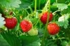 erdbeeren-mehrjaehrig