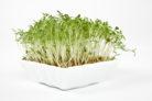 gartenkresse-pflanzen