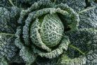 gruenkohl-frost