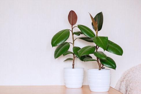 gummibaum-braune-blaetter