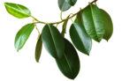 gummibaum-frucht