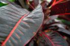 gummibaum-rote-blaetter