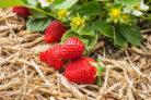 immertragende-erdbeeren