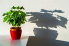 kaffeepflanze-steckbrief