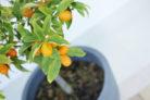kumquat-pflanzen