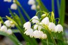 maerzenbecher-pflanzen