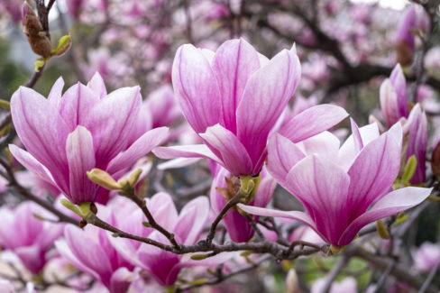 magnolie-ableger