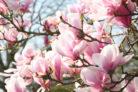 magnolie-blueht-im-august