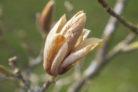 magnolie-braune-blaetter