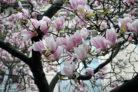 magnolie-standort