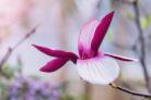 magnolie-verliert-blaetter