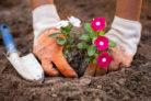 primeln-auspflanzen