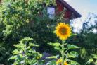 sonnenblume-standort