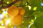 aprikose-standort