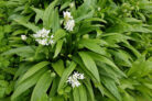 baerlauch-pflanzen