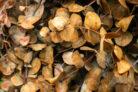 eukalyptus-blaetter-vertrocknen