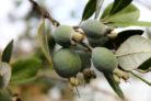 eukalyptus-frucht