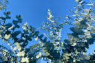 eukalyptus-pflanzen