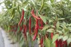 chili-bestaeuben