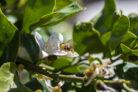 zitronenbaum-bestaeuben
